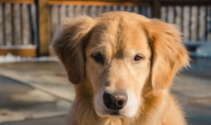 5 raças de cachorros dóceis para você